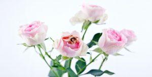 rose 1 copy
